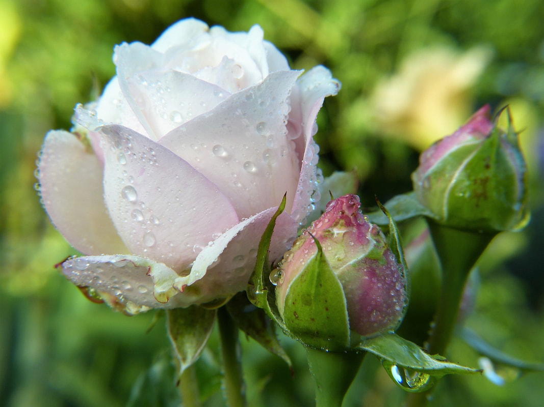 A white rose and rose buds with dew drops on them